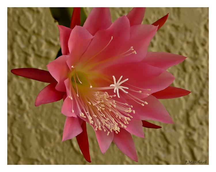 cactusbloom1.jpg