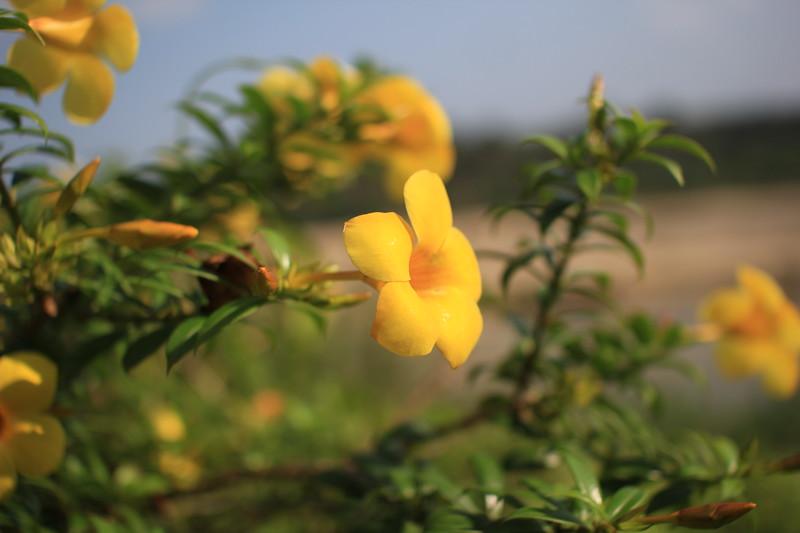 yellow rive flowers.JPG