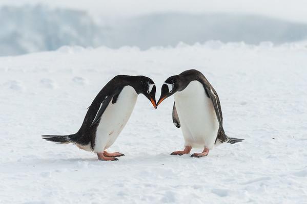 Wildlife of Antarctic Peninsula and South Shetlands