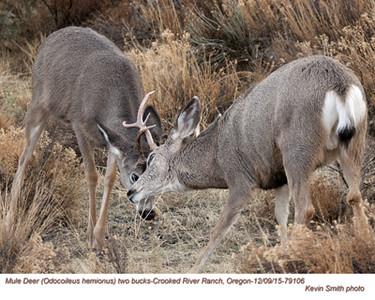 Mule Deer Bucks M79106.jpg