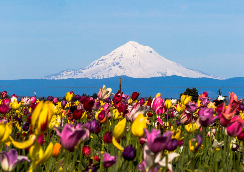 Tulips and Mt. Hood