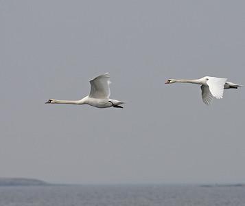 Joutsenet (Swans)