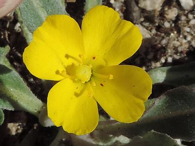 California Sun Cup (Camissoniopsis bistorta)