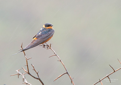 Red-breasted Swallow (Cecropis semirufa)