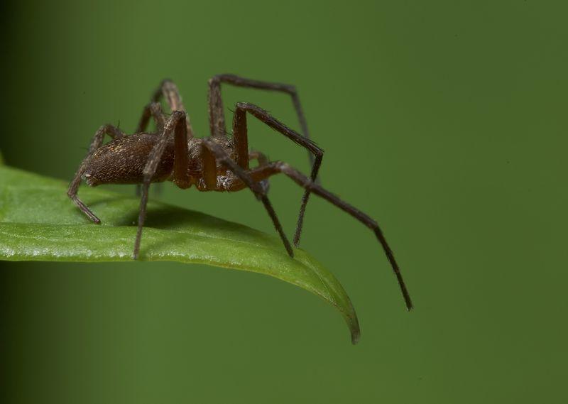 malespider.jpg