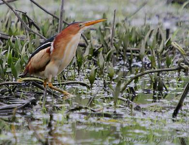 2006-05-07 Creve Coeur Marsh