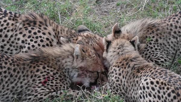 Cheetahs  -Eating Baby Antelope