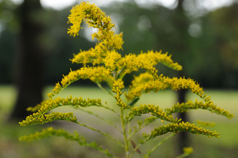 Ahh-choo ... the golden rod is blooming.