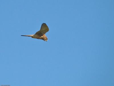 Falcons (Falconinae)