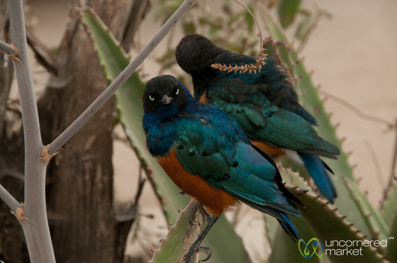 Superb Starling Birds - Serengeti, Tanzania