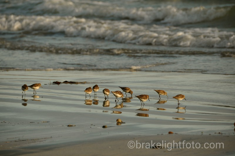 Shorebirds at Rugged Point