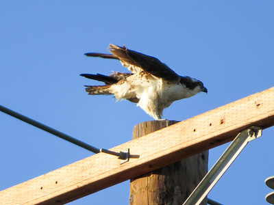 Ospreys and Friends 2017