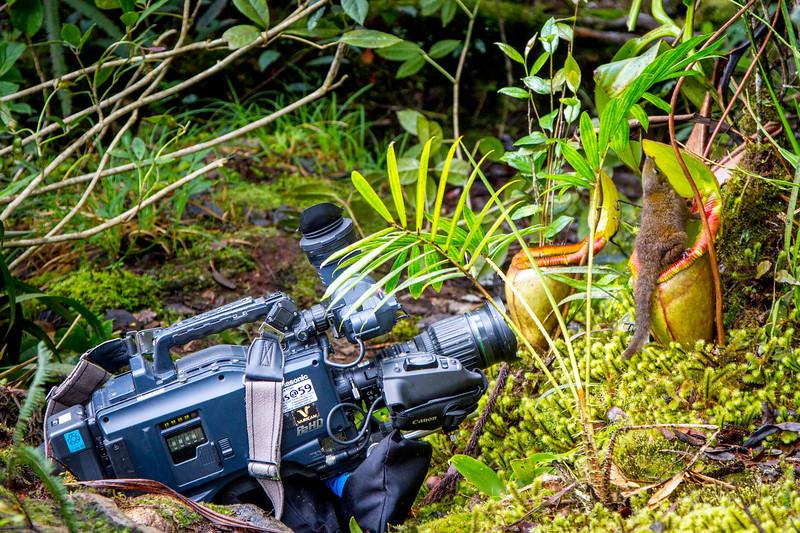 Mountain tree shrew (Tupaia montana) feeding on nectar secreted by the endemic Pitcher Plant (Nepenthes kinabaluensis) Montane forests (at 2200m-3000m), slopes of Mt Kinabalu. Kinabalu Park, Sabah, Borneo, Malaysia