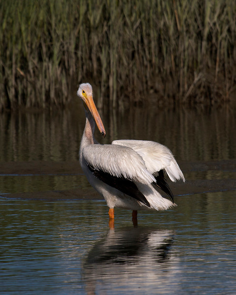 American White Pelican flight series (frame 1)