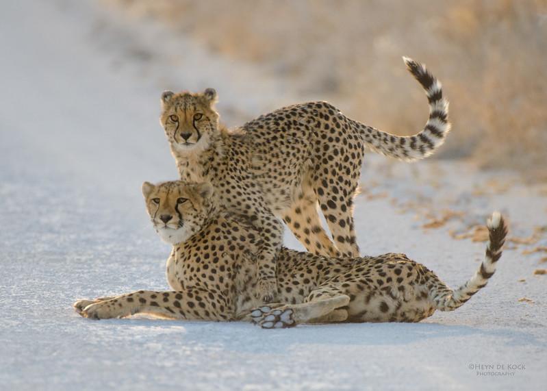 Cheetah, Etosha NP, Namibia, July 2011-2.jpg