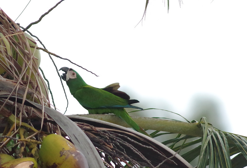 Chestnut-fronted Macaw feeding on yummy coconut (non-captive population in Miami)