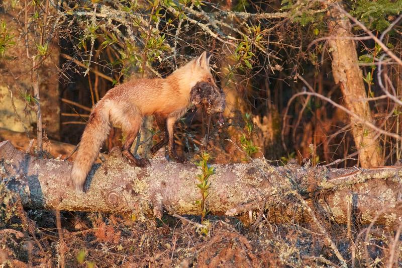 Red Fox with Muskrat Nichols Lake Rd Sax-Zim Bog MN IMG_0019971.jpg