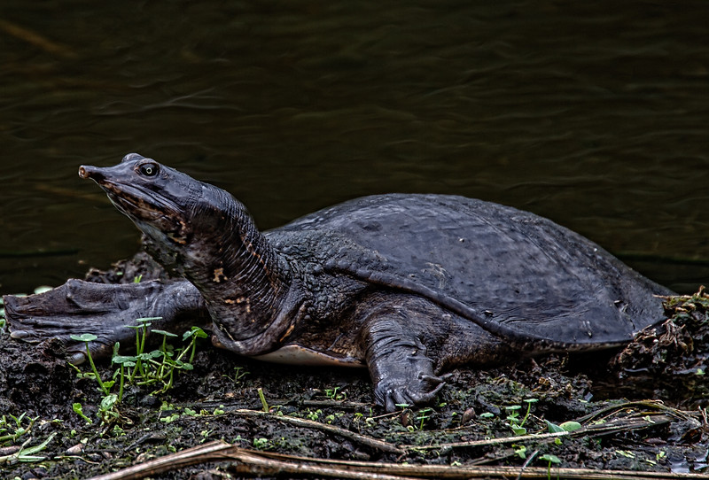 Soft Shelled Turtle-1441.jpg