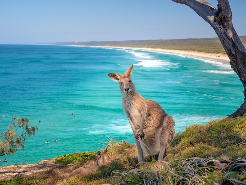 Kangaroos on the beach QLD
