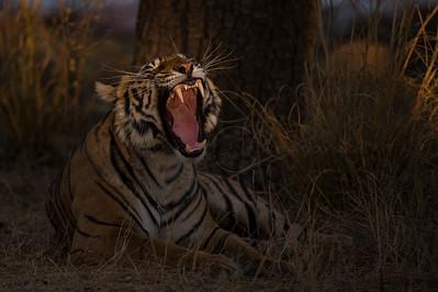 Tiger in the spot light