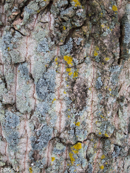 12-17.  Cottonwood bark carrying several different types of fungus.