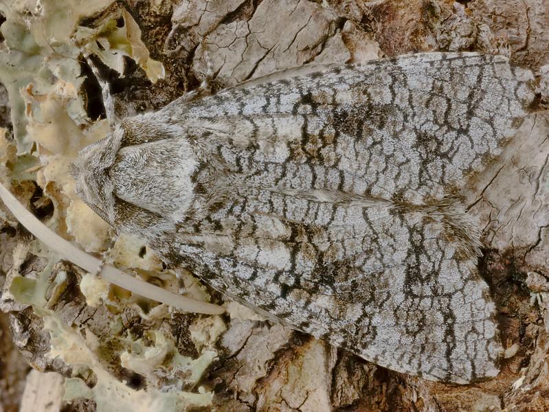 Aspen Carpetworm Moth-Acossus populi-2019-08-01-19.58.31