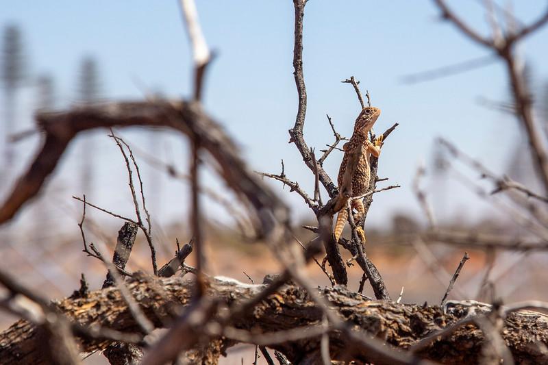 An MRO dragon lizard. Credit: ICRAR/Curtin.