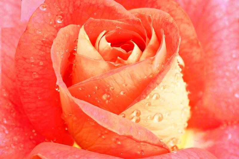 Rose Summer Sun