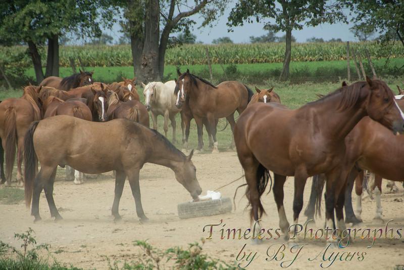 2014_Horses_Woodstown_9.jpg