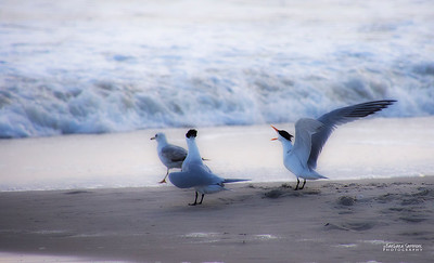 """Ruffled Feathers"" - Yaupon Beach, Oak Island"