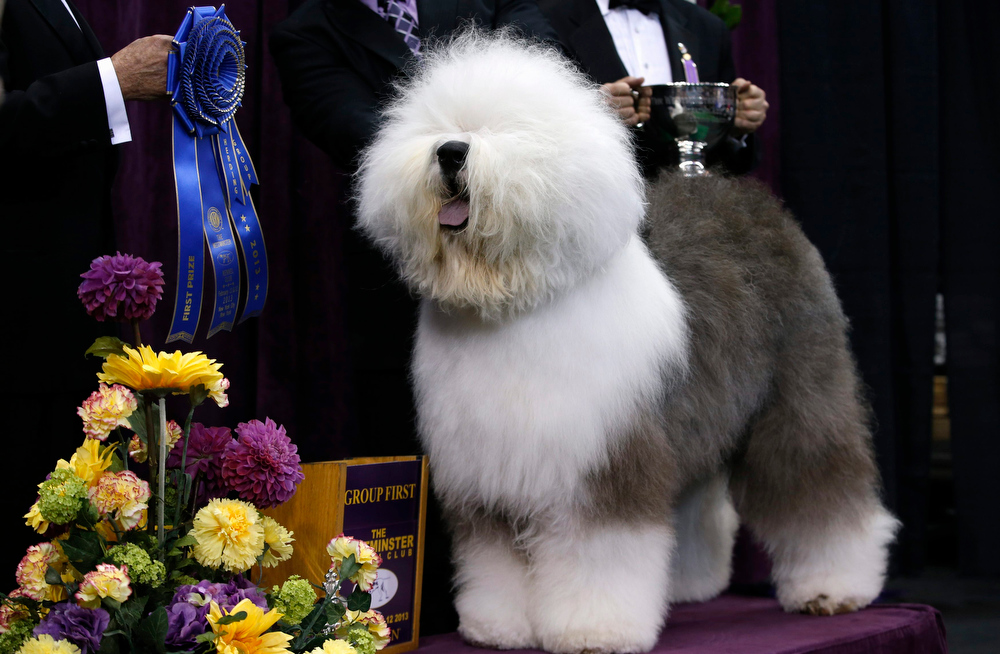 Description of . Swagger, an Old English Sheepdog, poses for photographers after winning the Herding Group during competition at the 137th Westminster Kennel Club Dog Show at Madison Square Garden in New York, February 11, 2013. Swagger will advance to the Best in Show competition on February 12.  REUTERS/Mike Segar