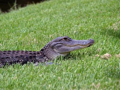Backyard gator
