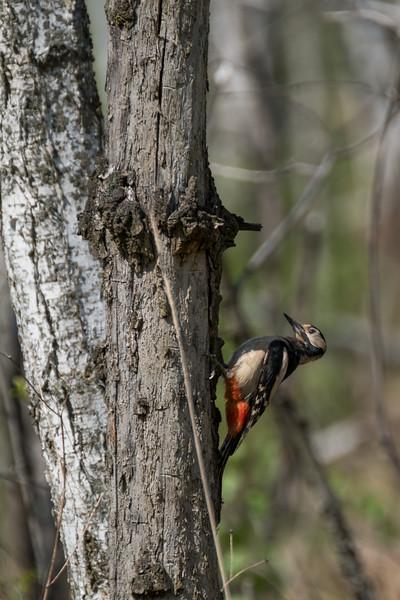 dzięcioł duży | great spotted woodpecker | dendrocopos major