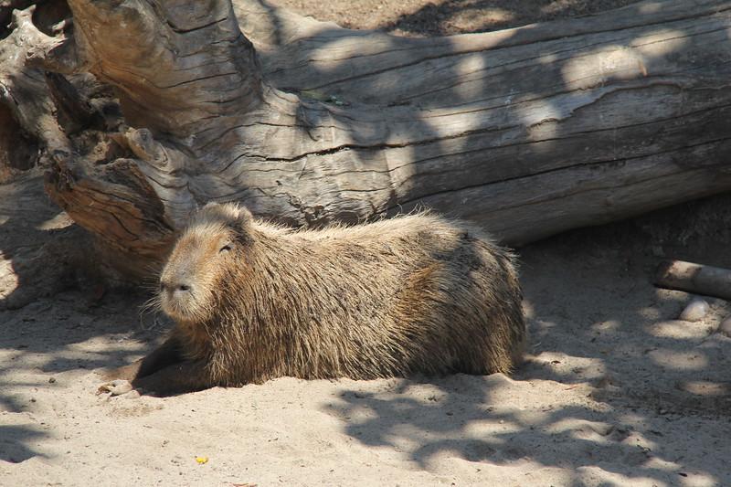 20170807-072 - San Diego Zoo - Capybara.JPG