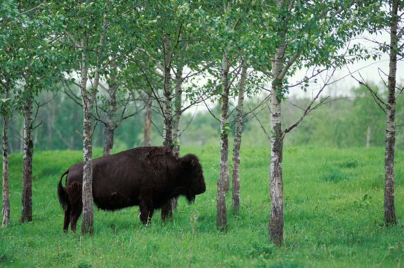 Bison In Trees