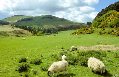 Sheep in Highlands, Scotland