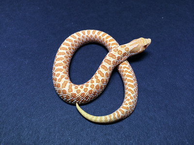 Female albino hognose