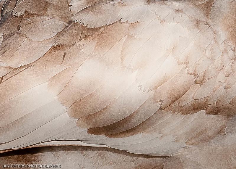 Cygnet Feathers-7054.jpg