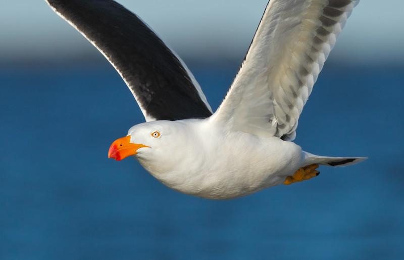 Pacific Gull CU MASTER.jpg