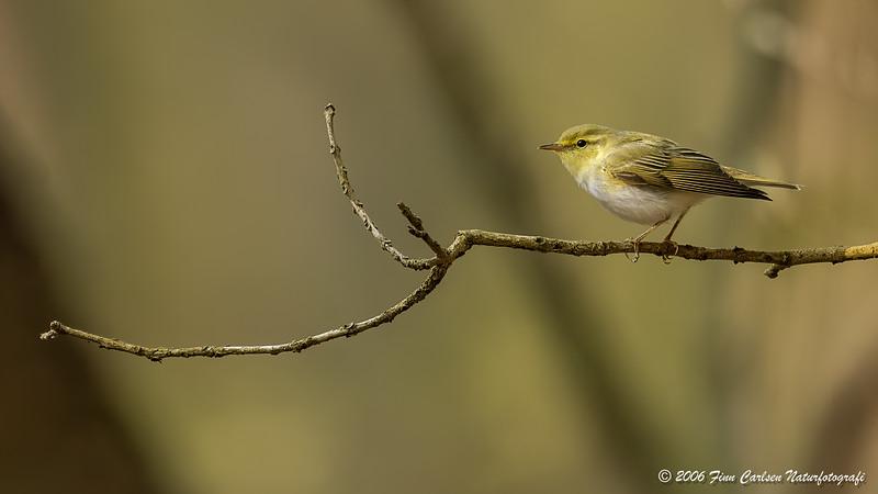 Skovsanger (Phylloscopus sibilatrix - Wood warbler)