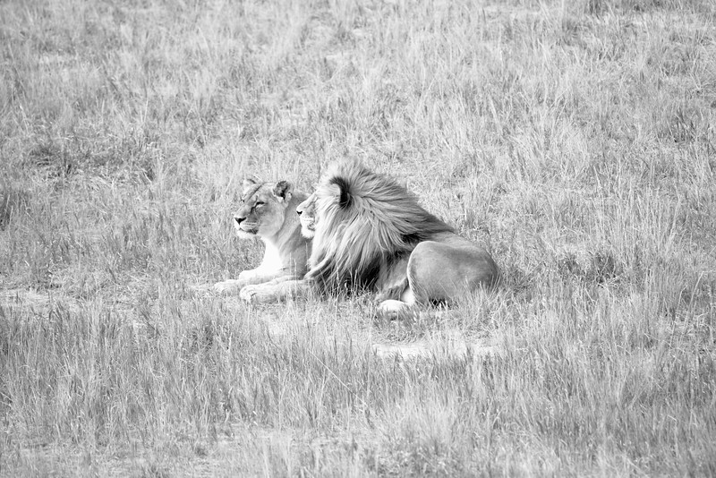 Lion mates from The Wild Animal Sanctuary