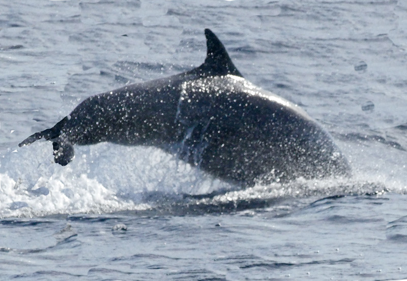 Dolphins Mirissa20160125_002.jpg