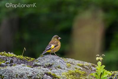 Oriental Greenfinch [Chloris sinica]
