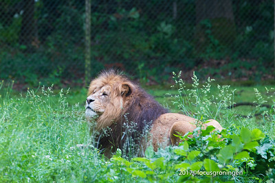 Dieren Tijgers Leeuwen Cheeta Poema