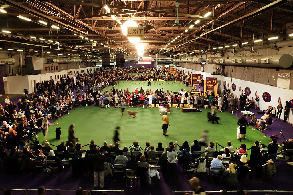 ". NEW YORK, NY - FEBRUARY 16:  Dogs compete in the ring at the at the Westminster Kennel Club Dog Show on February 16, 2015 in New York City. The show, which is in its 139th year and is called the second-longest continuously running sporting event in the United States, includes 192 dog breeds and draws nearly 3,000 global competitors. This year\'s event begins on Monday and will conclude with the awarding of ""Best of Show\"" on Tuesday night.  (Photo by Spencer Platt/Getty Images)"