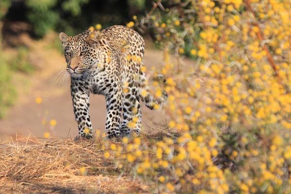 Leopard Mashatu Botswana 2013