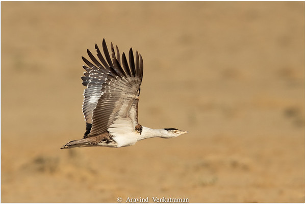 Birds of Jaisalmer ( DNP)