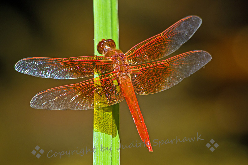 Flame Skimmer ~ This dragonfly was photographed at the Los Angeles Arboretum.  I liked the way the wing's shadow shows on the reed.