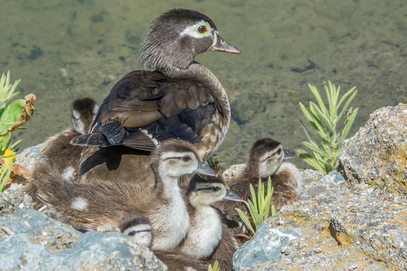 Wood Duck Hen and Ducklings