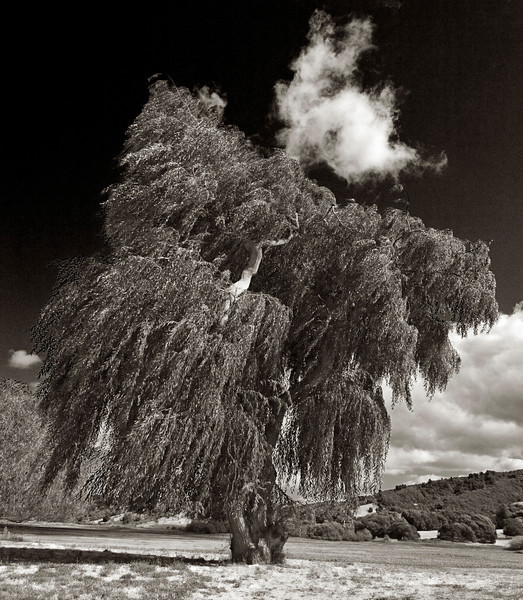 Willow Tree Infrared